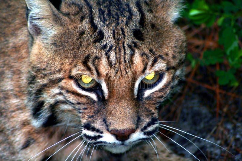 Bobcat royalty-vrije stock foto