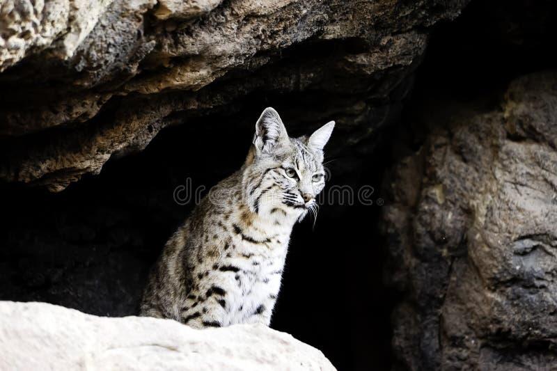 Download Bobcat stock photo. Image of portrait, predator, face - 19352504