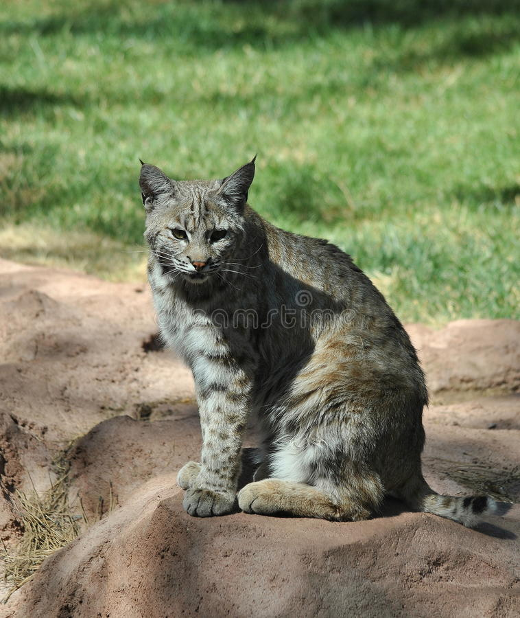 Download Bobcat stock image. Image of bobcat, felidae, animal - 20086193