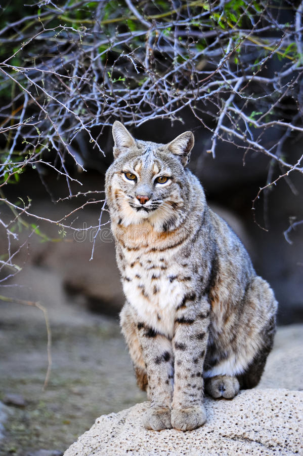 Download Bobcat stock photo. Image of wildcat, rufus, carnivore - 22843384