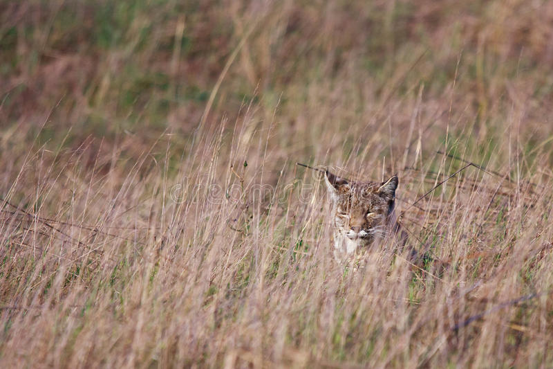 Download Bobcat stock image. Image of grass, nature, fure, tail - 23163105