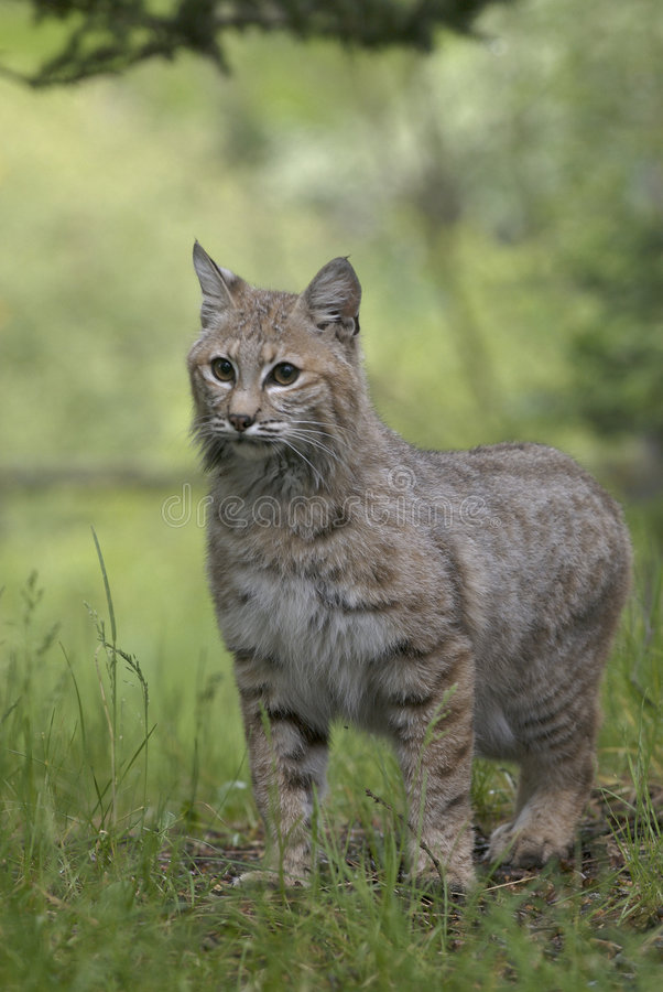 Download Bobcat Stock Photography - Image: 2358892