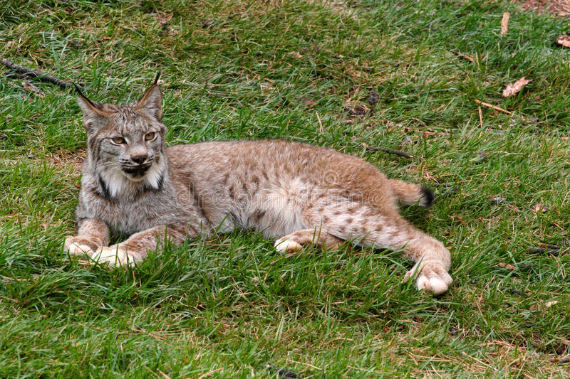 Download Bobcat stock photo. Image of dangerous, captivated, creature - 26980754