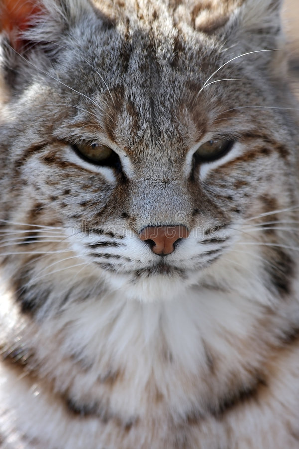 Download Bobcat stock photo. Image of bobcat, animal, hunter, feline - 4795688