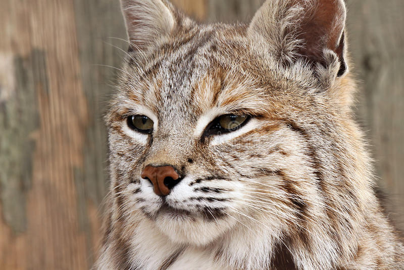 Download Bobcat stock photo. Image of nature, blurred, alert, wild - 9602288