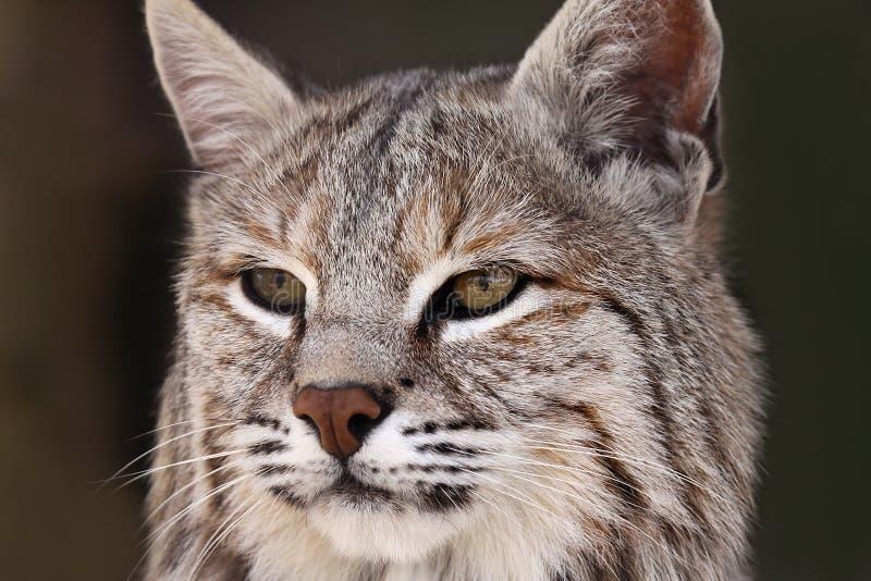 Bobcat Στοκ Εικόνες