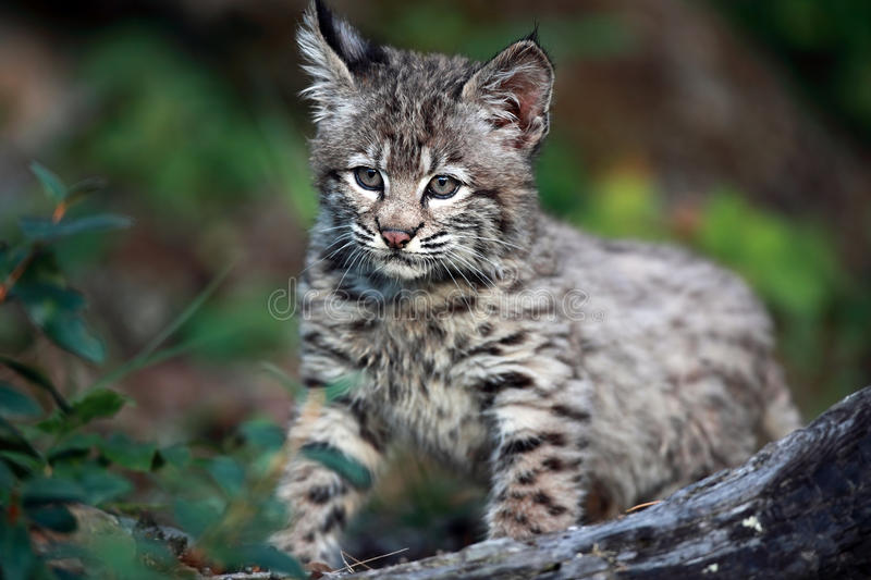 Bobcat Baby Royalty Free Stock Photo
