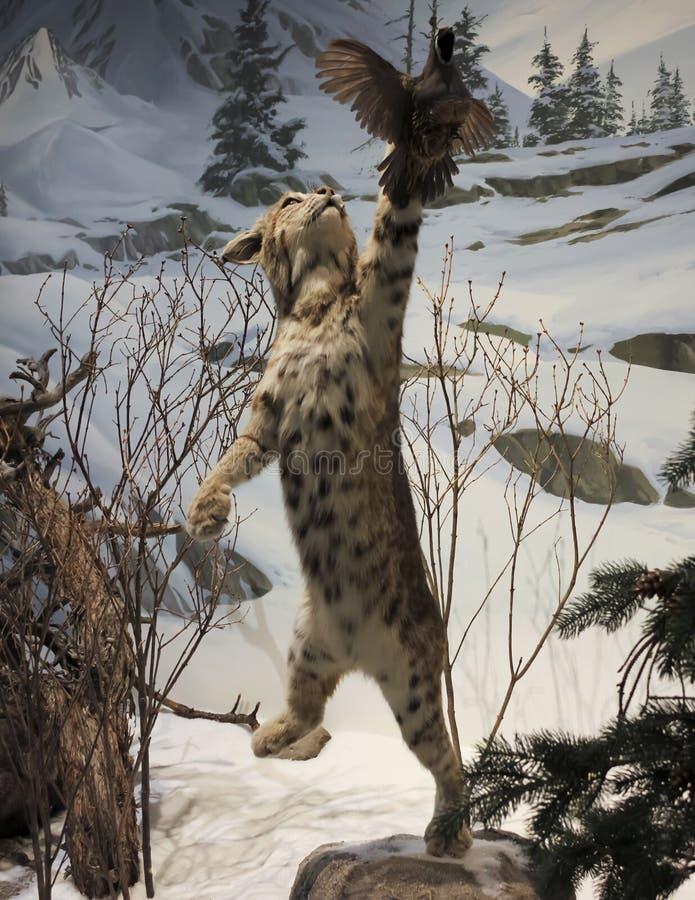 Bobcat Chases eine Gambel-` s Wachtel, internationales Museum der wild lebenden Tiere, lizenzfreie stockfotos