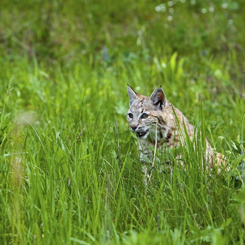 Bobcat in de bergen stock foto