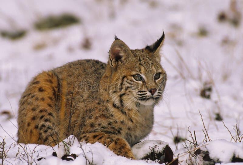 Bobcat In De Winter Stock Afbeelding