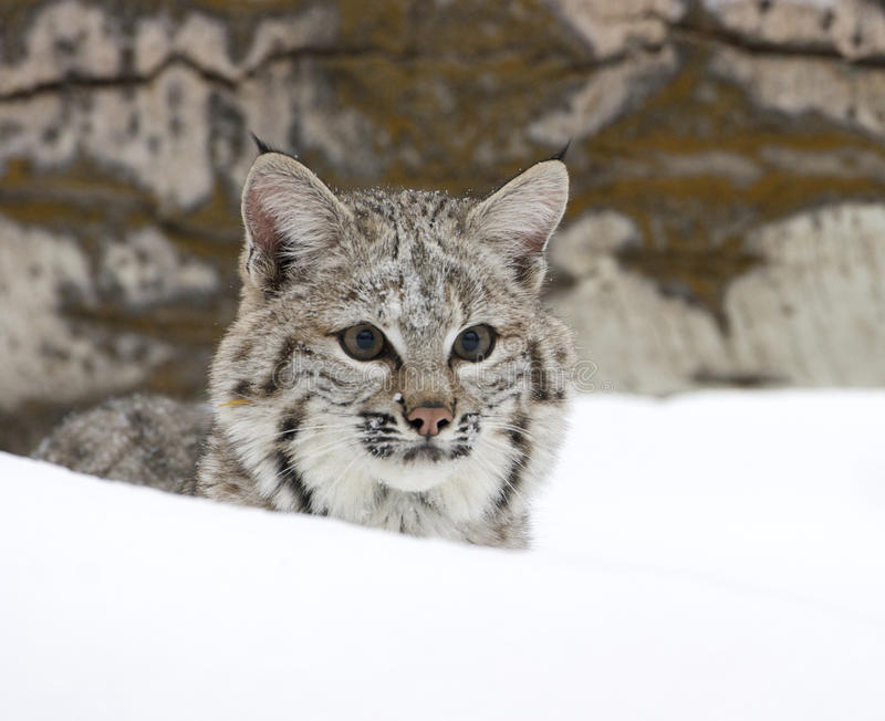 Download Bobcat in deep snow stock image. Image of wildlife, animal - 17807593