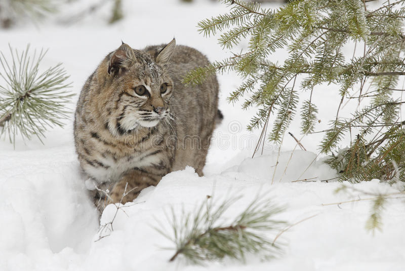Bobcat in deep white snow