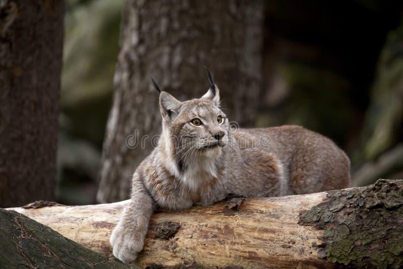 Bobcat die op het hout rusten
