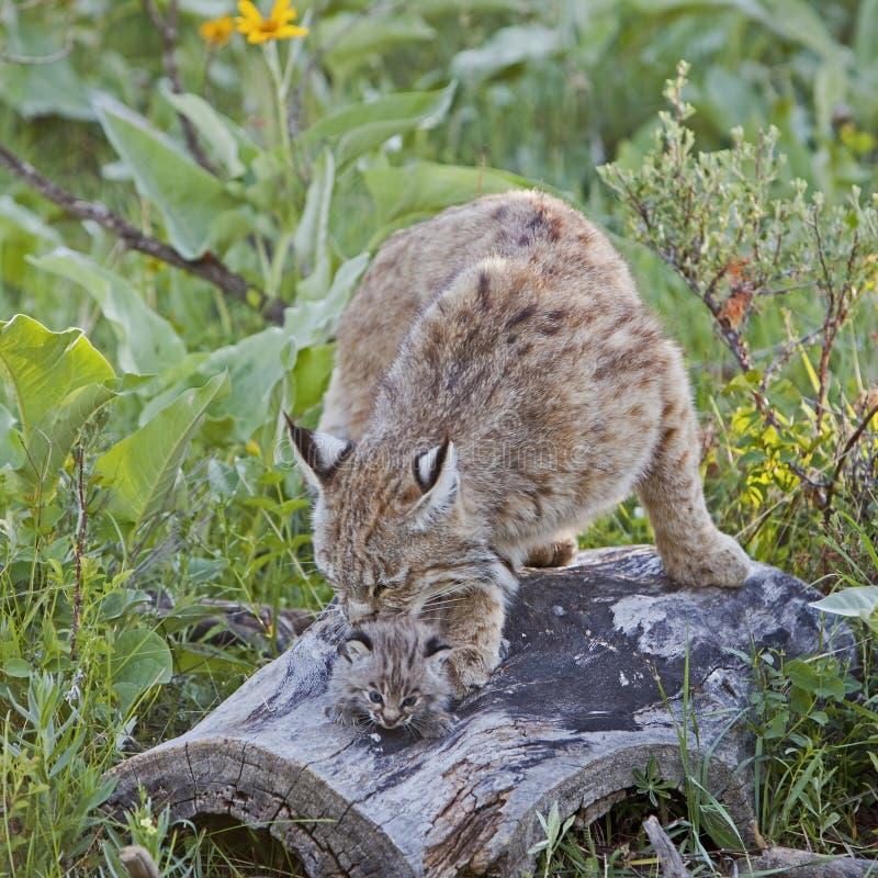 Bobcat female and kitten on log