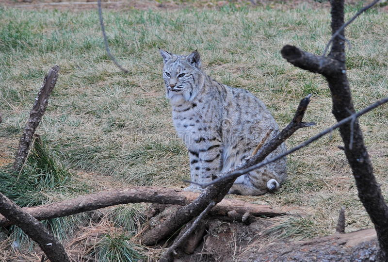 Download Bobcat Royalty Free Stock Photography - Image: 36126777