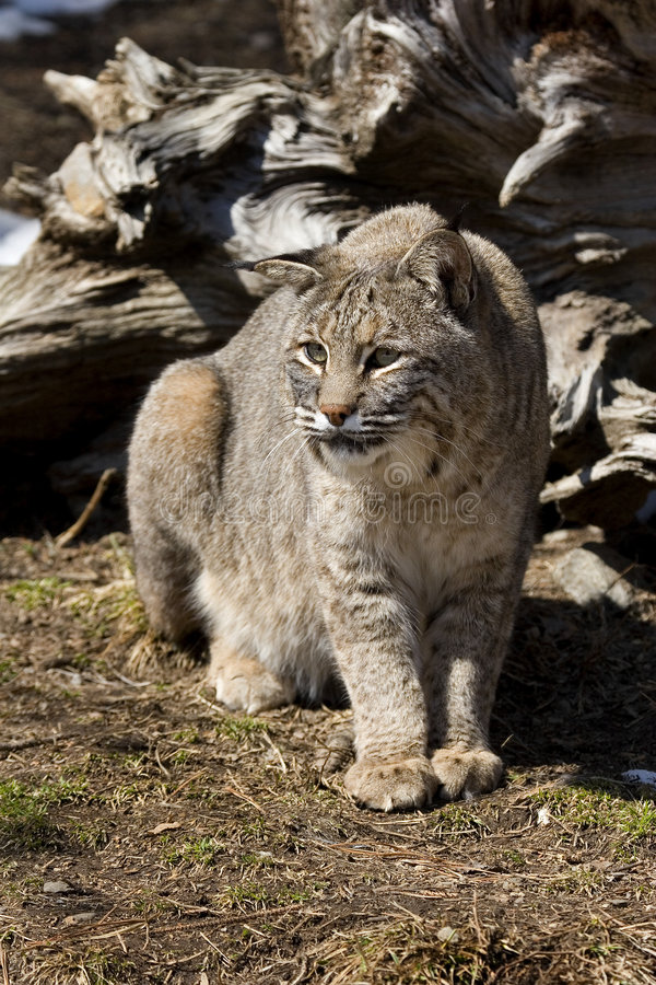 Download Bobcat IV stock photo. Image of lynx, bobcat, wildlife - 8998274