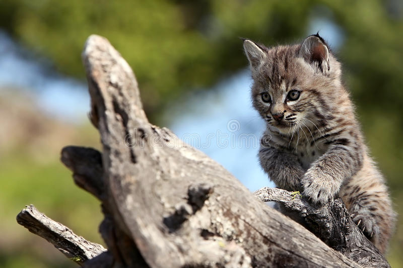 Download Bobcat Kitten stock photo. Image of nature, curious, baby - 15843174