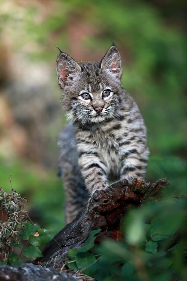 Download Bobcat Kitten Stock Photography - Image: 16517932