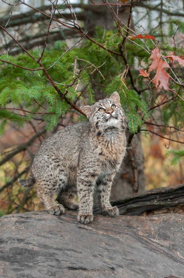 Bobcat Kitten (lodjurrufus) ser upp från uppe på journal royaltyfri fotografi