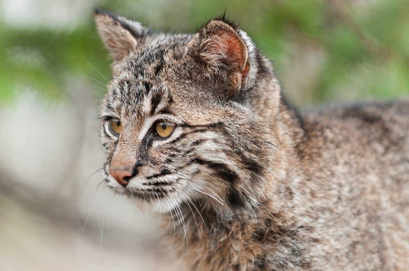 Bobcat Kitten (lodjurrufus) ser vänster arkivfoton