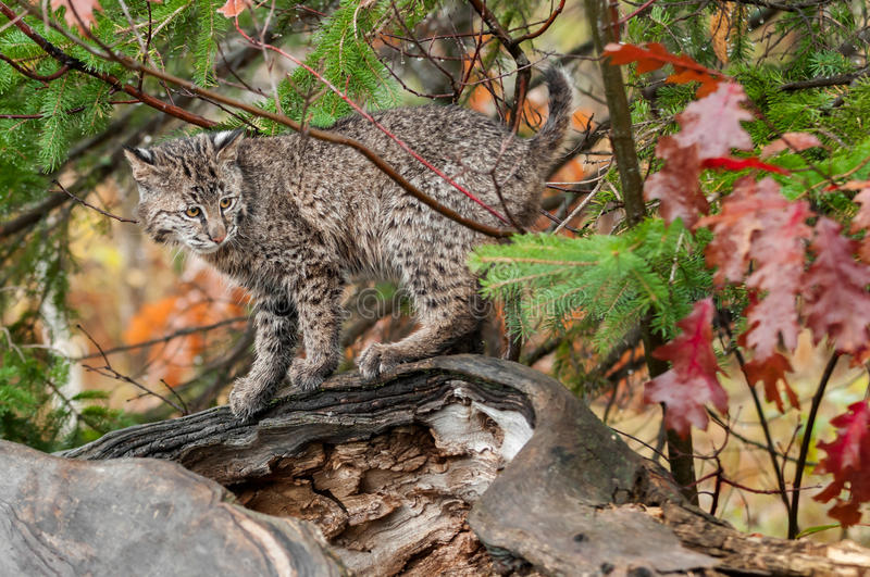 Download Bobcat Kitten Looks Right From Atop Log Stock Photo - Image of predator, kitten: 38817218
