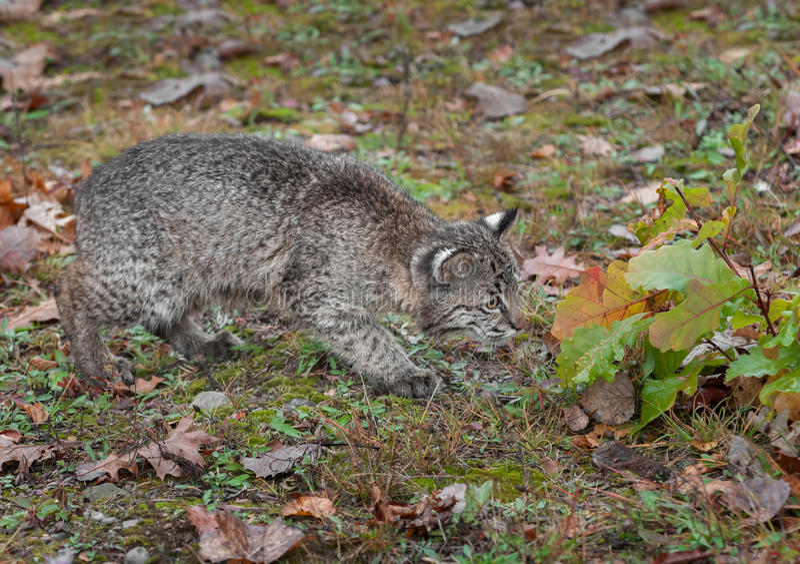 Download Bobcat Kitten (Lynx Rufus) Cautiously Checks Leaves Stock Photo - Image: 40054439