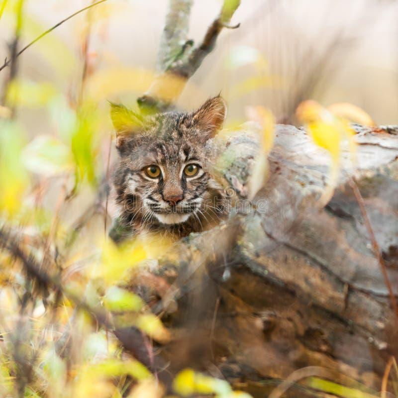 Download Bobcat Kitten (Lynx Rufus) Hides Stock Image - Image: 38296189