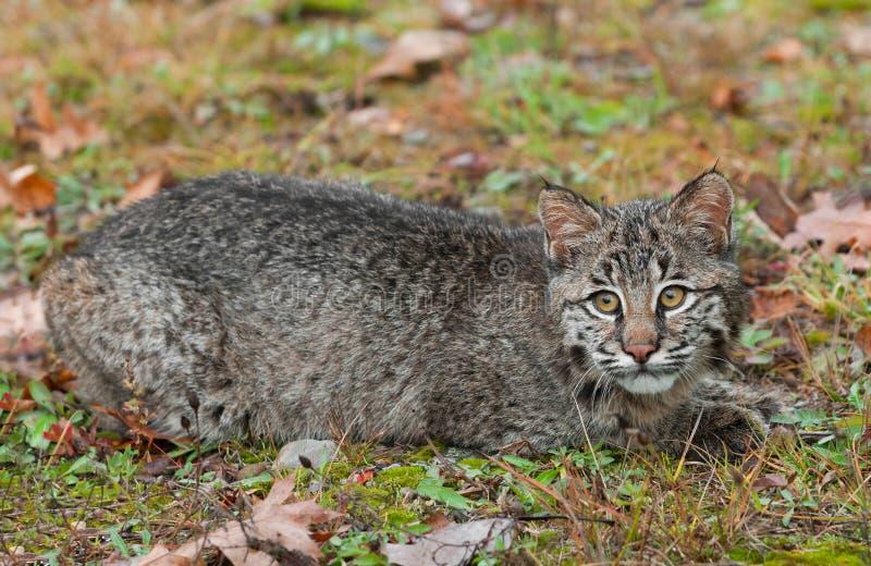 Download Bobcat Kitten (Lynx Rufus) Lies In The Grass Stock Image - Image: 39818095