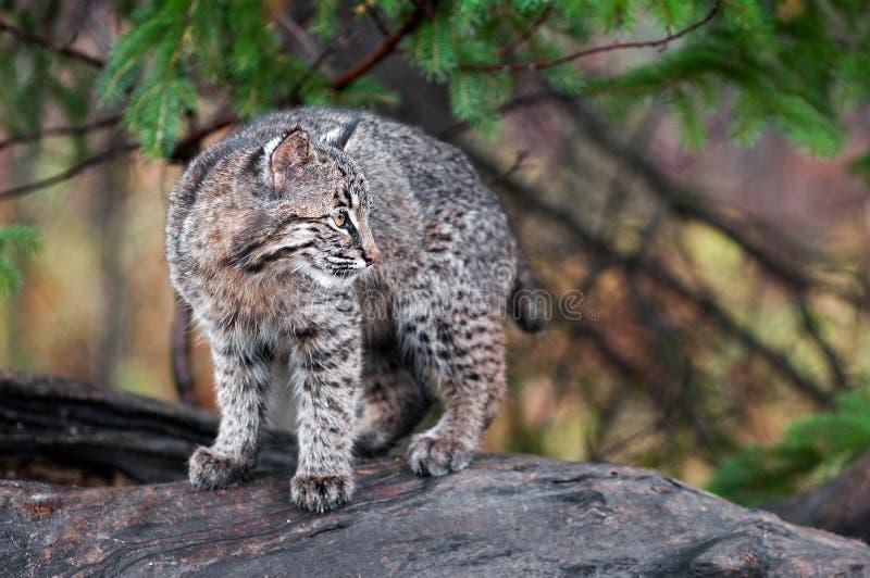 Bobcat Kitten (Lynx rufus) Looks Right