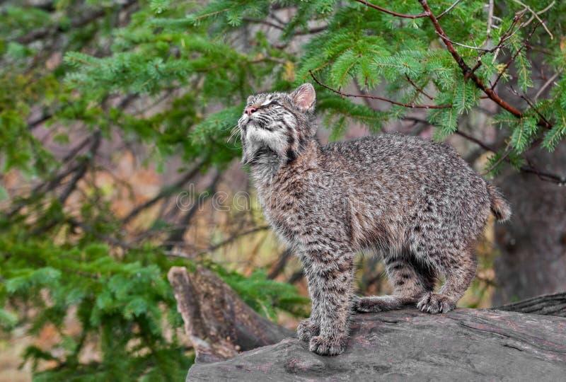 Download Bobcat Kitten (Lynx Rufus) Looks Up From Log Stock Image - Image: 36536905