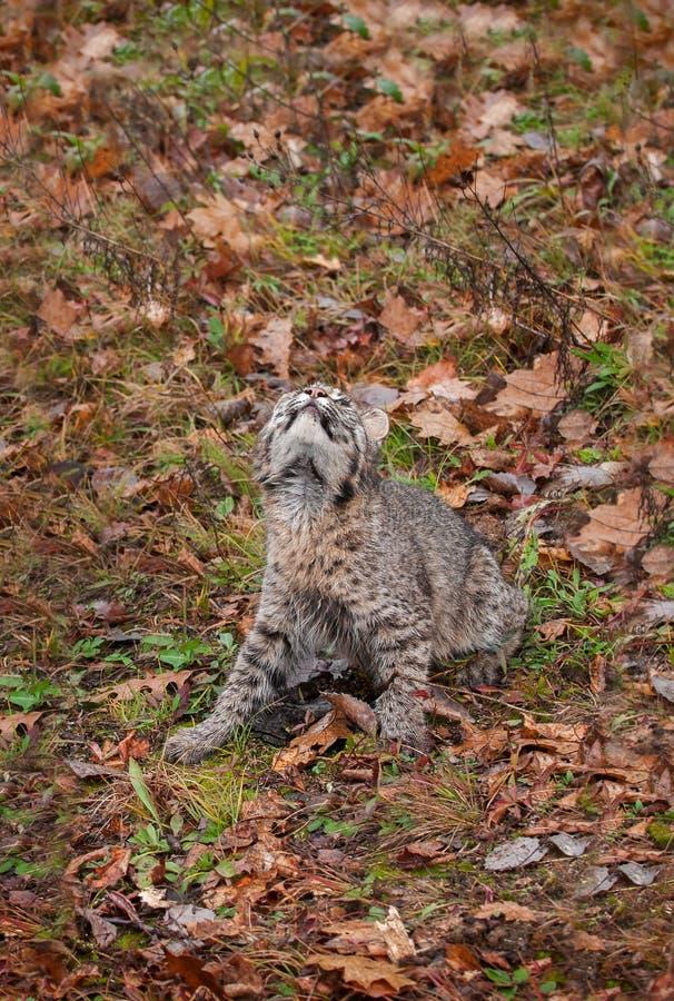 Bobcat Kitten (Lynx Rufus) Looks Way Up Stock Photo