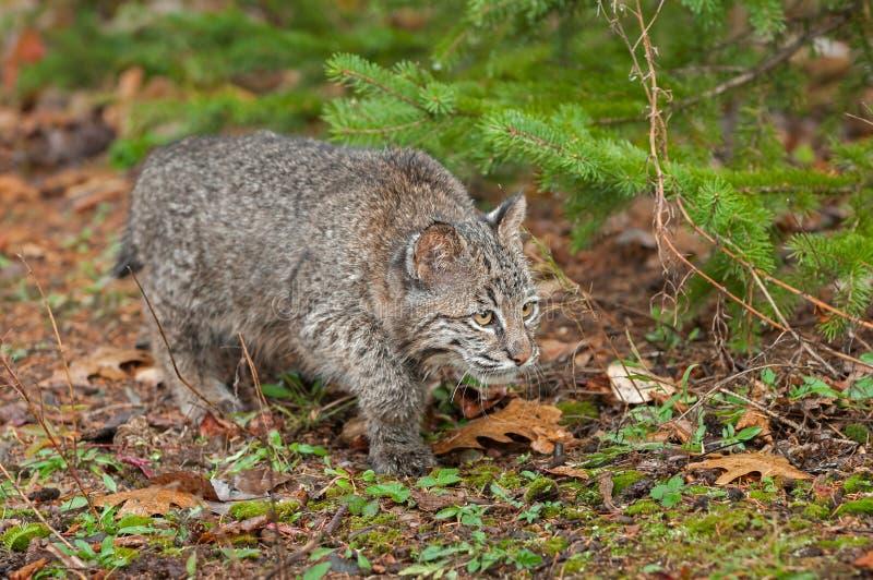 Bobcat Kitten (Lynx rufus) Stalks Along the Ground