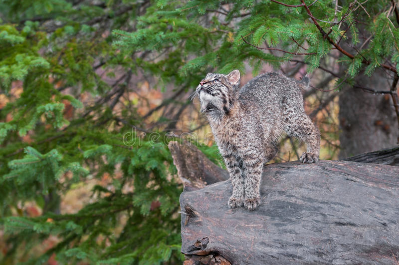 Download Bobcat Kitten (Lynx Rufus) Stands On Log Looking Up Stock Photo - Image: 36207584