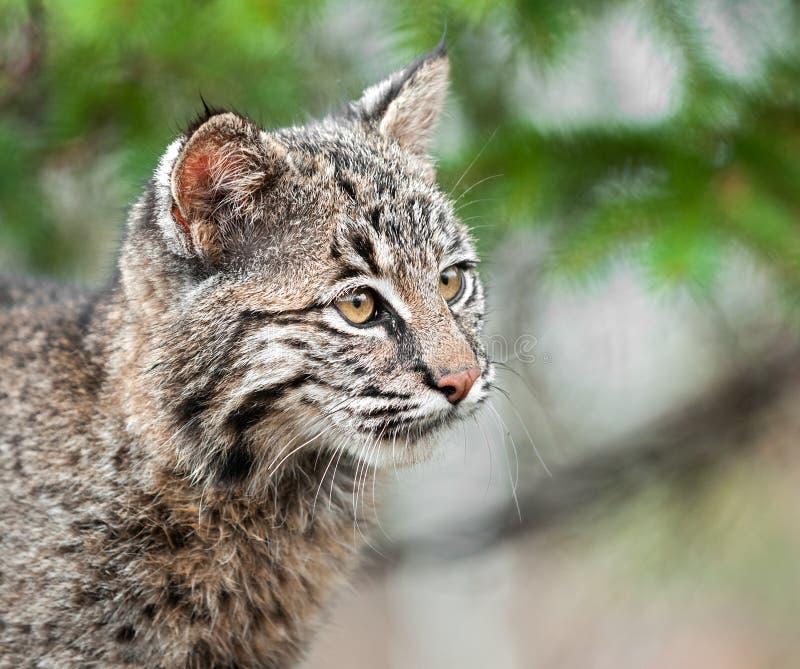 Bobcat Kitten (rufus del lince) mira el primer derecho fotos de archivo