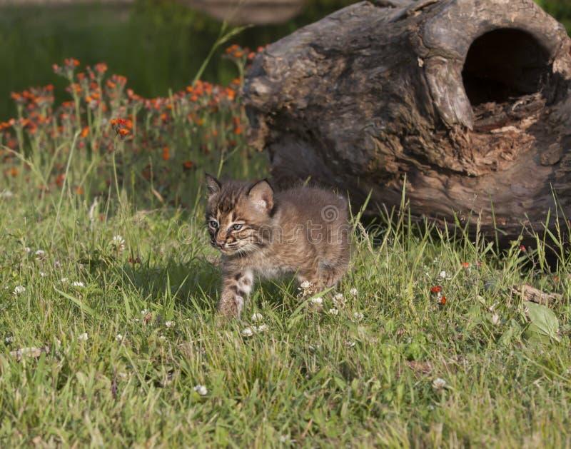 Bobcat Kitten Walking Trhough Meadow royaltyfri foto