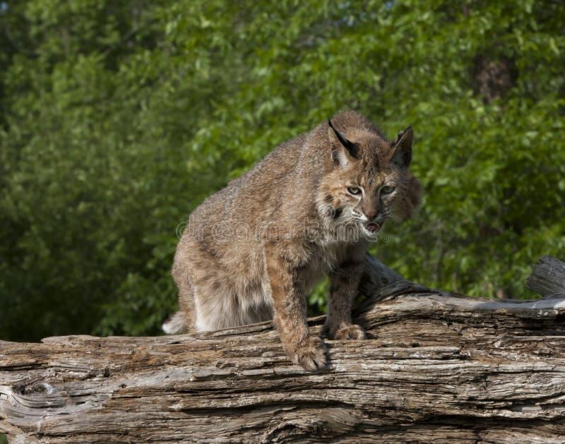 Bobcat Klaar op te springen stock fotografie