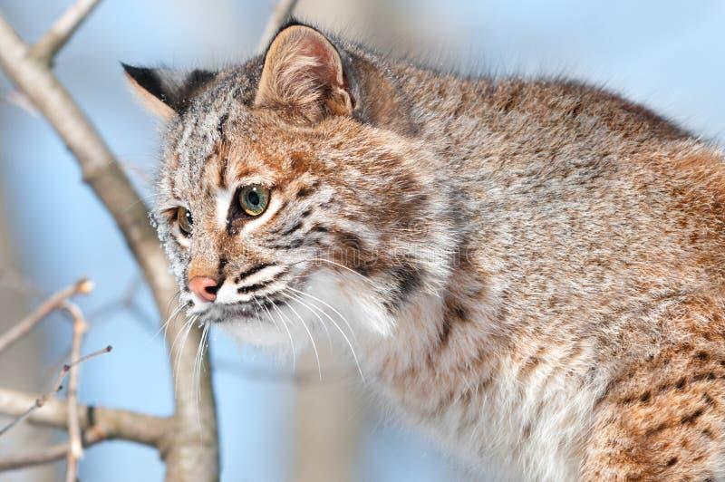 Bobcat (lodjurrufus) I Treen - Huvud Arkivfoton