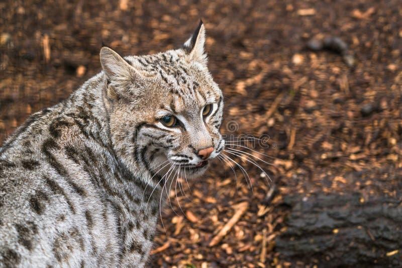 Bobcat Lynx-rufus lizenzfreie stockfotografie