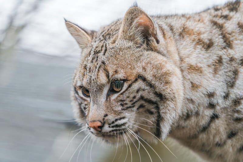 Bobcat Lynx-rufus lizenzfreies stockbild