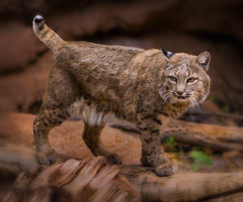 Bobcat Lynx-rufus lizenzfreies stockfoto