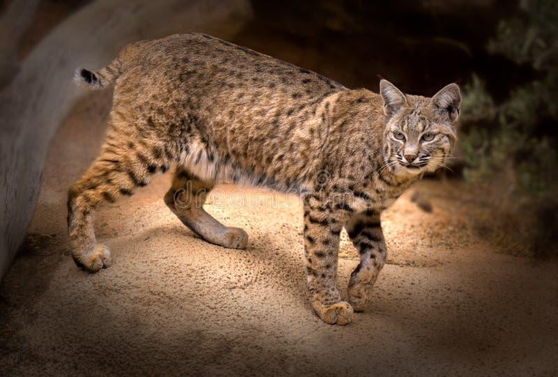 Bobcat Lynx-rufus stockfotografie