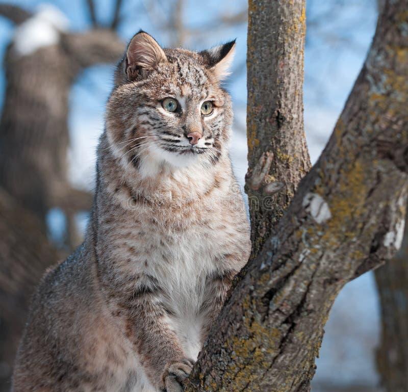 Download Bobcat (Lynx Rufus) Climbs Tree Stock Image - Image: 30067685