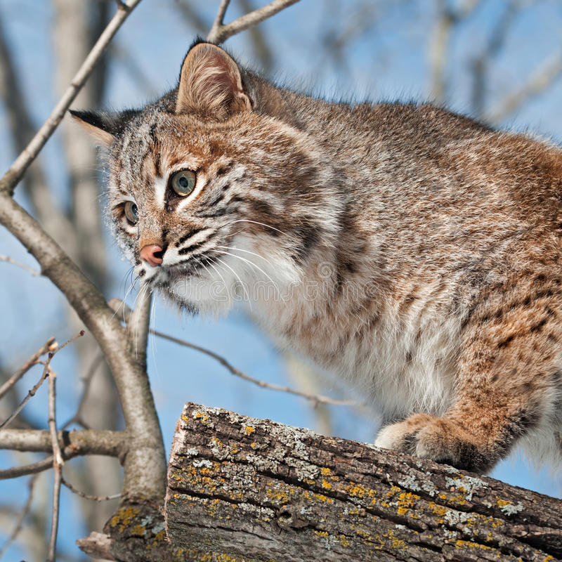 Download Bobcat (Lynx Rufus) Close Up In Tree Royalty Free Stock Photos - Image: 30207828