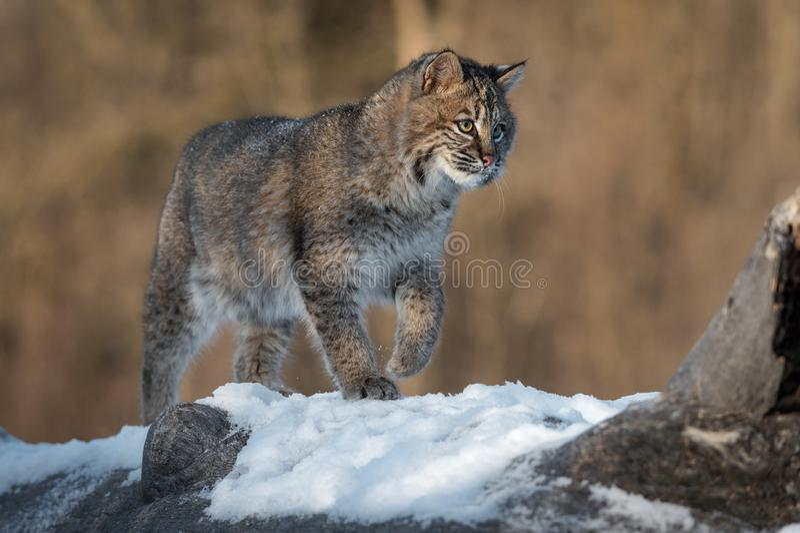 Bobcat Lynx-rufus geht nach rechts entlang Klotz stockfoto