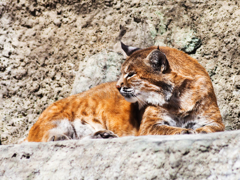 Download Bobcat stock photo. Image of scenic, lynx, bobcat, habitat - 33437626