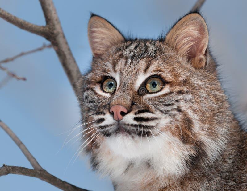 Download Bobcat (Lynx Rufus) Portrait Stock Image - Image: 31036253
