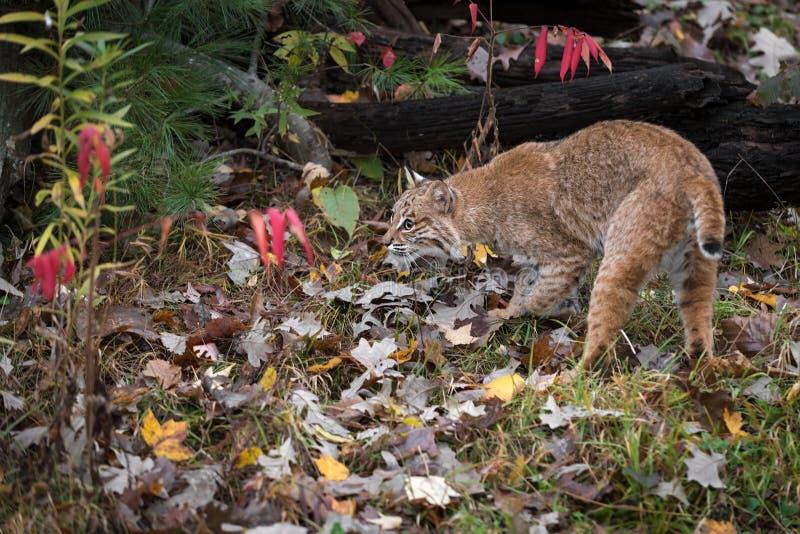 Bobcat Lynx rufus Prowls Near Logs Autumn arkivfoton