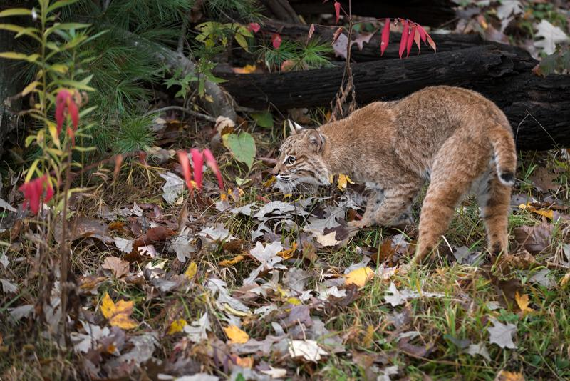Bobcat Lynx rufus Prowls Near Logs Autumn stock foto's