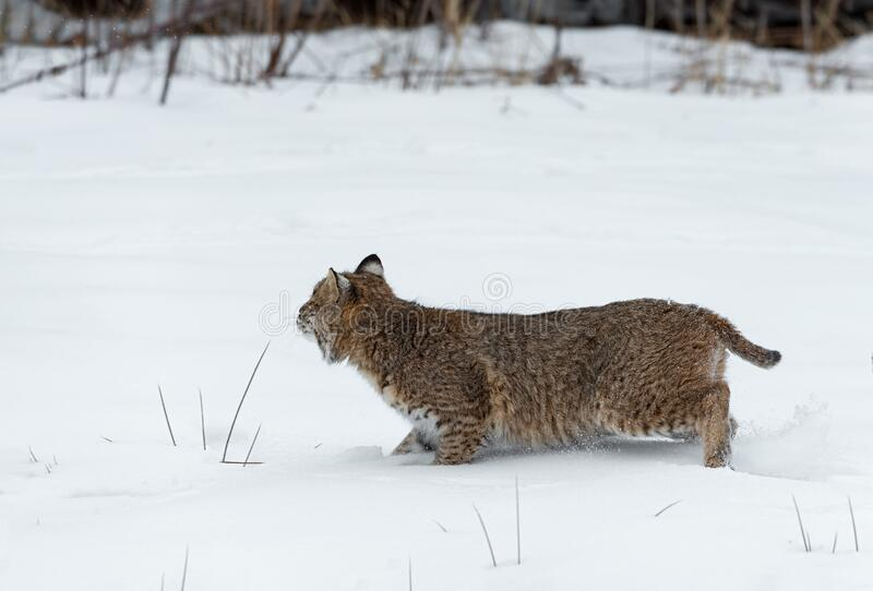 Bobcat Lynx rufus Quick Stop in Snow Looking Back Left Winter. Captive animal stock photo