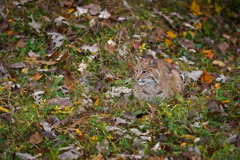 Bobcat Lynx rufus senta patas presas no ambiente do outono foto de stock royalty free